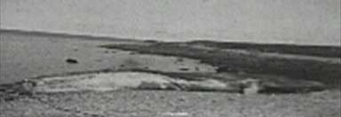 a picture of the blue whale in Bragar Bay, 1920